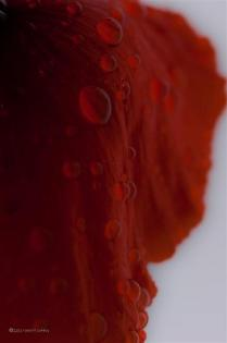 Poppy with water droplets